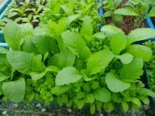 Lịch trồng rau trong thùng xốp đủ cho gia đình 6 người ăn suốt tháng 11,12
