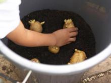 Cách trồng khoai tây tại nhà cho củ to như dân trồng vườn chuyên nghiệp