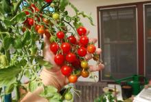 Cắt cà chua thành từng lát mỏng bỏ vào xô đất và chờ điều bất ngờ xảy ra